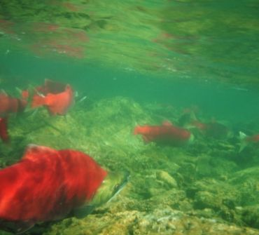 Fly Fishing For Sockeye Salmon